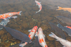 Peixes de Koi na lagoa Fotografia de Stock
