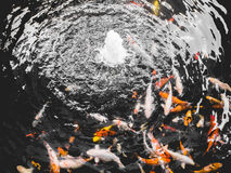 Peixes de Koi na lagoa fotos de stock royalty free