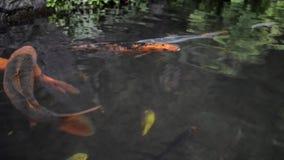 Peixes de Koi na lagoa video estoque