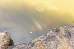 Peixes de Koi no projeto decorativo da paisagem da lagoa Imagens de Stock Royalty Free