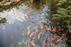 Peixes de Koi no projeto decorativo da paisagem da lagoa Fotografia de Stock Royalty Free