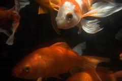 Peixes de Koi subaquáticos fotografia de stock royalty free
