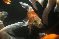 Peixes de Koi subaquáticos imagem de stock