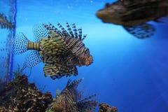Peixes de Leon no aquário, Rússia fotografia de stock