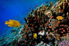 Peixes de Lyretail Anthias em um recife de corais Fotos de Stock