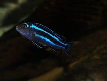 Peixes de Malawi Imagem de Stock