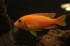 Peixes de Malawisee Imagem de Stock