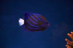 Peixes de mar. Fotografia de Stock Royalty Free