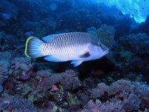 Peixes de mar imagens de stock royalty free