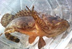 Peixes de mar Imagem de Stock