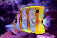Peixes de mar amarelo e branco Fotografia de Stock