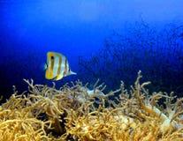 Peixes de mar da espiga do amarelo de Zebrasoma no aquário Peixes tropicais Foto de Stock Royalty Free