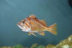 Peixes de mar de Coldwater fotos de stock