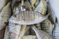 Peixes de mar exóticos Foto de Stock