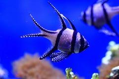 Peixes de mar exóticos Fotos de Stock Royalty Free