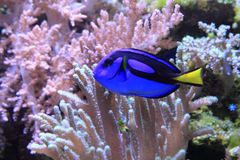Peixes de mar exóticos Imagem de Stock Royalty Free