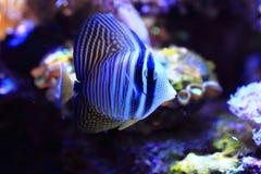 Peixes de mar exóticos Foto de Stock Royalty Free