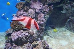 Peixes de mar exóticos no aquário, Rússia foto de stock royalty free
