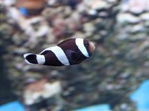Peixes de mar exóticos no aquário, Rússia foto de stock