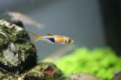 Peixes de néon - peixes tropicais Imagem de Stock Royalty Free
