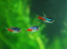 Peixes de néon vermelhos Fotos de Stock Royalty Free