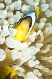 Peixes de Nemo Fotografia de Stock
