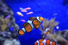Peixes de Nemo Foto de Stock