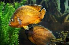 Peixes de Oscar no aquário Imagens de Stock Royalty Free