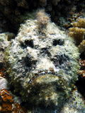 Peixes de pedra imagens de stock royalty free