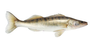 Peixes de Pike Imagem de Stock