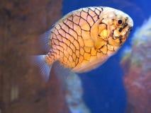 Peixes de Pinecone Fotografia de Stock