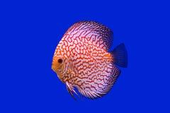 Peixes de Pompidou Fotografia de Stock