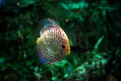 Peixes de QDiscus muito coloridos imagem de stock