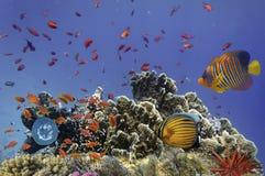 Peixes de Ropical em Coral Reef no Mar Vermelho Imagens de Stock