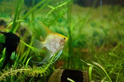 Peixes de Scalare do aquário que flutuam na água Fotografia de Stock