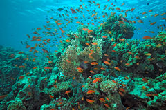 Peixes de Scalefin no recife imagens de stock royalty free