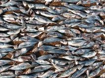 Peixes de secagem Imagem de Stock
