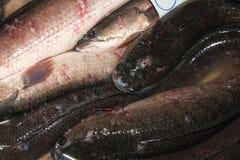 Peixes de Snakehead Fotos de Stock