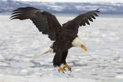 Peixes de travamento da águia calva Fotografia de Stock