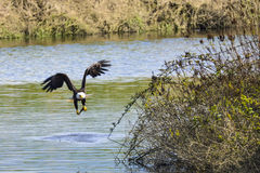 Peixes de travamento da águia calva Imagens de Stock Royalty Free