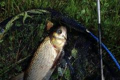 Peixes de travamento no rio foto de stock royalty free