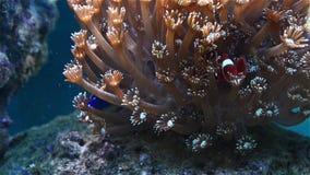Peixes de Tripical que jogam no coral filme