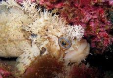 Peixes decorados do warbonnet que olham fixamente na câmera Fotografia de Stock Royalty Free