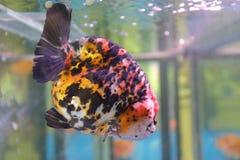 Peixes decorativos coloridos Foto de Stock Royalty Free