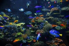 Peixes decorativos do aquário Foto de Stock