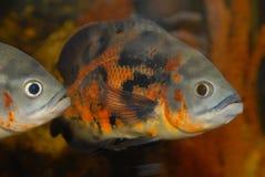 Peixes decorativos em um aquário doméstico. fotos de stock royalty free