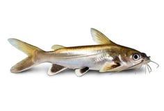 peixes derrubados prata Prata-derrubados do aquário do seemanni de Ariopsis do peixe-gato do tubarão isolados Foto de Stock Royalty Free
