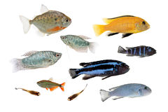 Peixes diferentes do aquário isolados no branco Foto de Stock