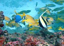 peixes do ídolo e do cirurgião Imagens de Stock