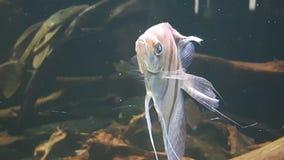Peixes do anjo imagem de stock